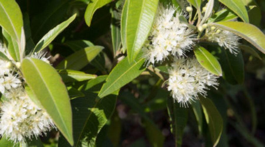 Lemon myrtle a tasty tree