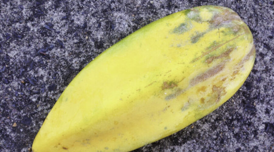 Babaco — bit like a pawpaw but not quite