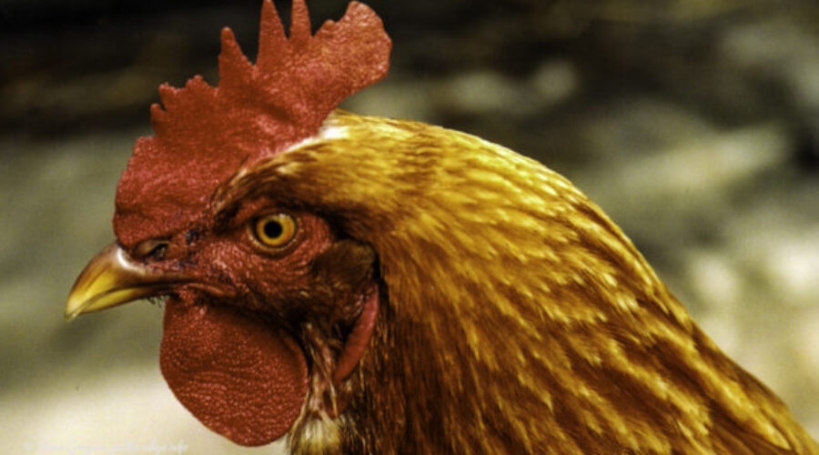 Chooks — the most populous bird in world