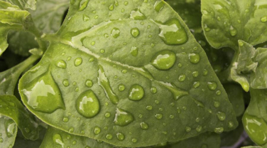 New Zealand spinach, Warragul greens